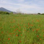 Random image: Field of Italian Poppies