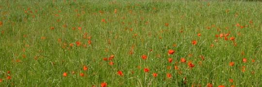 Field of Italian Poppies